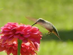 Hummingbird Flowers Hummingbird Flowers The Hummingbirdpost U0027s Blog