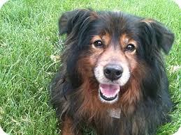 belgian sheepdog australia anna adopted dog hilliard oh sheltie shetland sheepdog