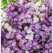shop garden state bulb 3 count container freckles purple shades