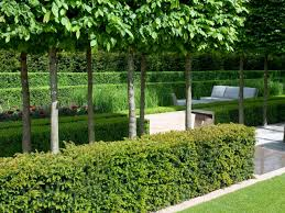buying hedges types of hedges hgtv
