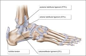 Anatomy Of The Calcaneus South Africa Patient Caregivers Your Ligament Your Anatomy