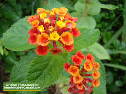Hummingbird Flowers How To Attract Hummingbirds With Flower Gardening Water Features