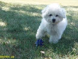 bichon frise 7 weeks old bichon frise pictures videos and information part 2
