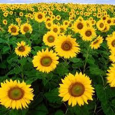 25 beste ideeën over black oil sunflower seeds op pinterest
