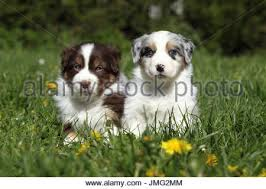 australian shepherd puppies 7 weeks australian shepherd puppies 7 weeks in cage kennel stock photo