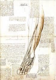 Leonardo Da Vinci Human Anatomy Drawings Leonardo Drawings A Study Of Anatomy From The