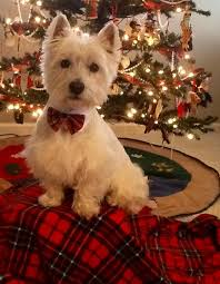 a west highland terrier poses by the tree pinteres