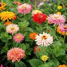 Zinnia Flowers Buy Miscellaneous Zinnia Flower Seeds
