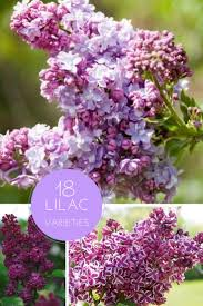 Lilac Flower by 43 Best Lavender U0026 Lilac Images On Pinterest Lavender Lavender