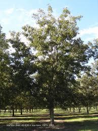 pecan cultivars mandan