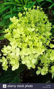 Lime Green Flowers - hydrangea paniculata u0027limelight u0027 lime green flower flowers garden