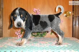 videos of bluetick coonhounds bluetick coonhound puppies puppy dog gallery