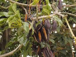 the australian kurrajong tree pod seeds international