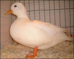 the poultry guide gallery duck breeds