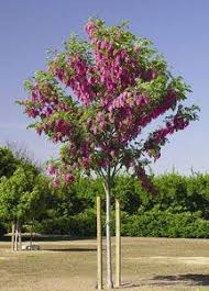purple robe locust drought resistant and hardy blooms are