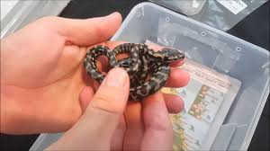 Baby Carpet Snake Babies Update On My Hatchling Jungle Carpet Pythons Youtube
