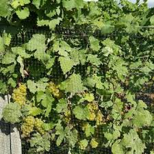 Backyard Vineyards  Photos Wineries  Nd Street - Backyard vineyard design