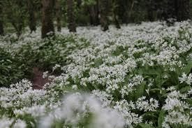 irish native plants glenbower wood an ancient native irish woodland u2013 killeagh co cork