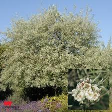 ornamental pear willow leafed pear perth wa garden centre