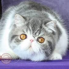 Persian Cat Meme - purfurvid exotic shorthair and persian cats home facebook