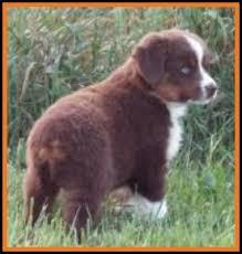 8 week australian shepherd litter 1 callie ghost eye mini aussies available puppies for sale