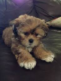 shih poo haircuts this shih poo is just like my layla girl with the white chin and