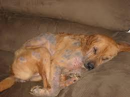 american pitbull terrier heat cycle demodicosis wikipedia