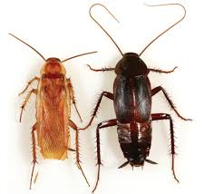 alien cockroach species invading the u s u2013 national geographic