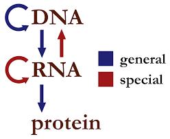 central dogma of molecular biology wikipedia