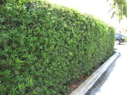 podocarpus planting screen hedge pinterest podocarpus