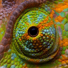 Seeking Lizard Chameleons Perhaps The Most Distinctive Of Any Reptile