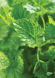 native american healing plants growing a medicinal herb garden