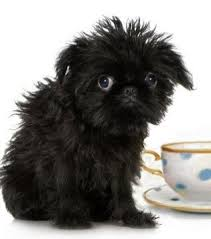 affenpinscher adults for sale a list of teacup puppies and teacup dogs and the breeders you
