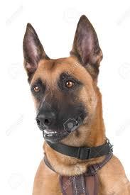 belgian shepherd dog malinois head of a belgian shepherd dog malinois stock photo picture and