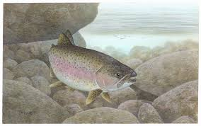 free picture rainbow trout fish oncorhynchus mykiss