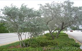 silver buttonwood tree naples