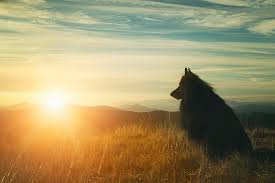 belgian sheepdog art belgian shepherd groenendael watching a sunset photograph by wolf