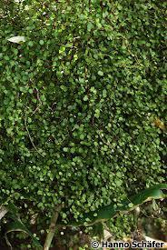 sweet viburnum 200mm pot viburnum 11 best front garden images on pinterest cottage evergreen and