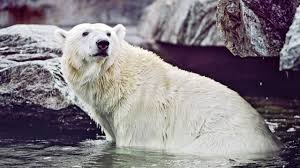 Two Polar Bears In A Bathtub The Scientific Case For Cold Showers