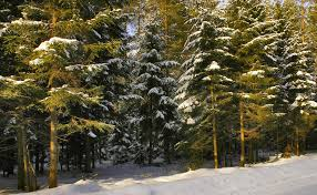 free images branch snow winter evergreen weather snowy fir