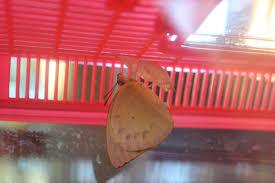 brisbane backyard naturalist lemon emigrant butterfly