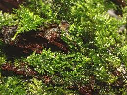 Plants For Aquascaping Riccardia Chamedryfolia