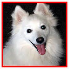 miniature american eskimo dog life expectancy 44 american eskimo dog