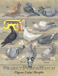 How To Get Rid Of Pigeons Off My Roof by R I Pigeon U2013 Mel Campbell U2013 Medium