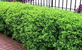 landscape shrubs u2013 us1 me