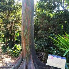 Rainbow Eucalyptus Rainbow Eucalyptus Picture Of Fairchild Tropical Botanic Garden