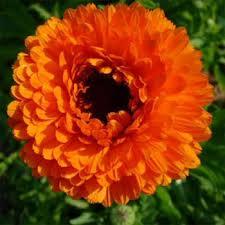 Calendula Flowers Pot Marigold Seeds Calendula Officinalis Geisha Flower Seed