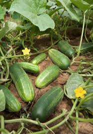 Cucumber Growing And Harvest Information Growing Vegetables