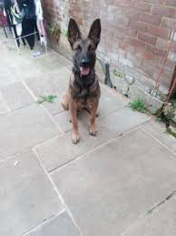 9 month old belgian malinois malinois 8 month old male dutch import epsom surrey pets4homes