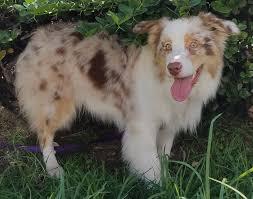 1 year old australian shepherd 1052919267 jpg